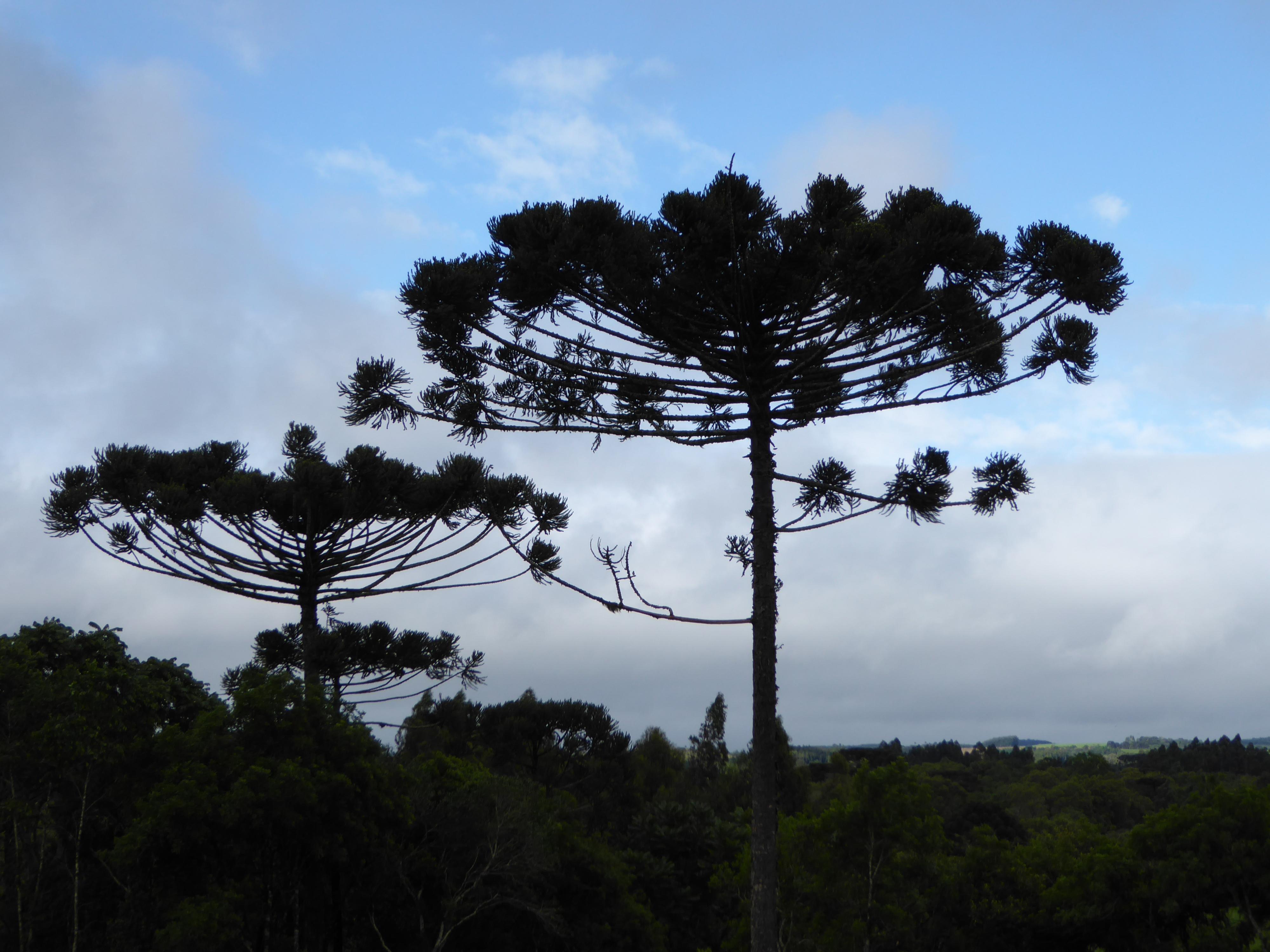Fredede 50-års træer.