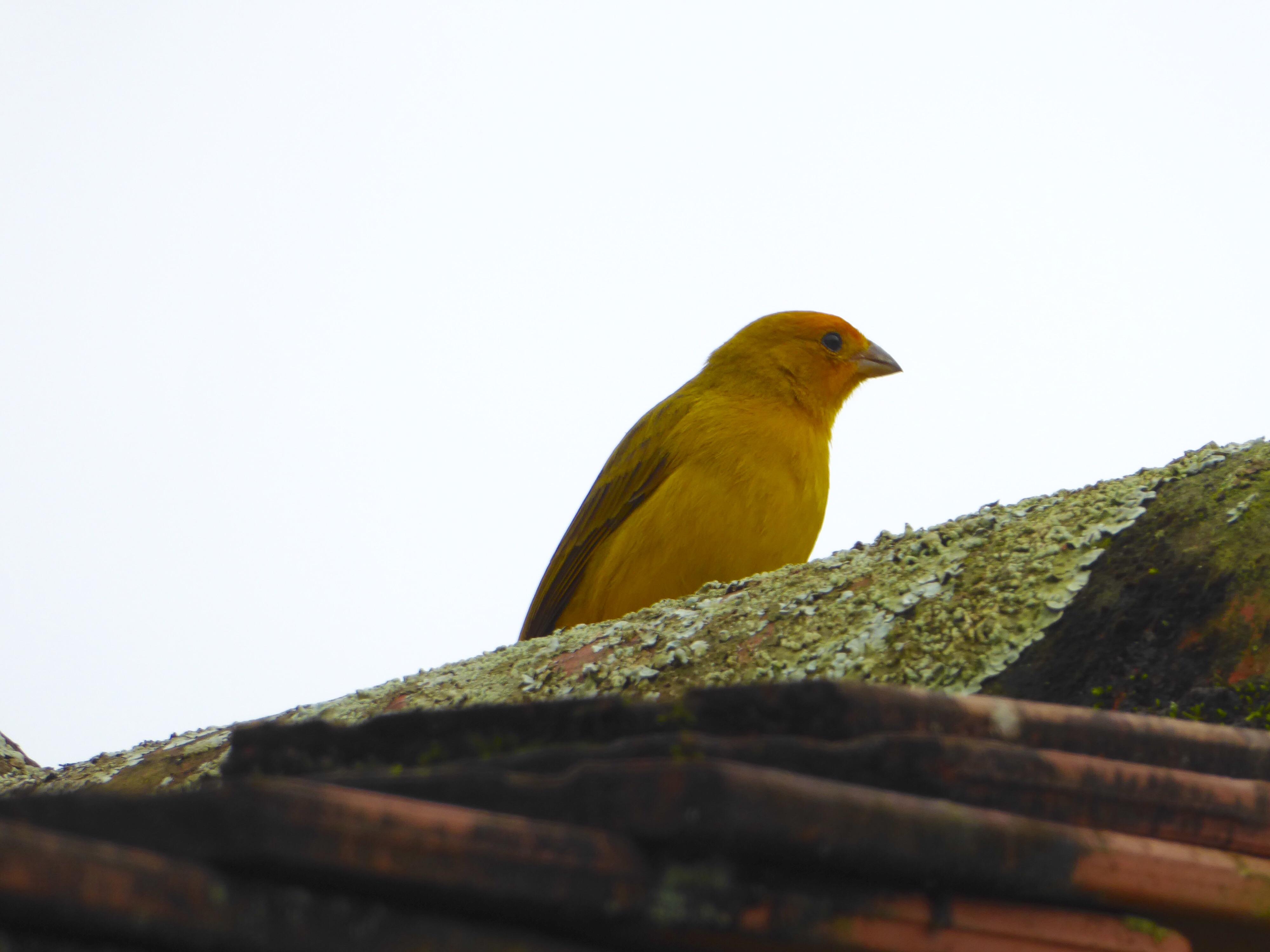 En kanariefugl